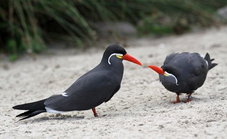 meer: Pair of Inka Terns Stock Photo