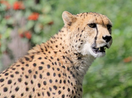 attraktion: female cheetah Stock Photo