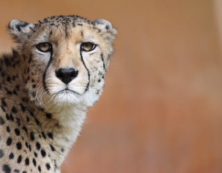 Portrait of a female cheetah 02  Stock Photo