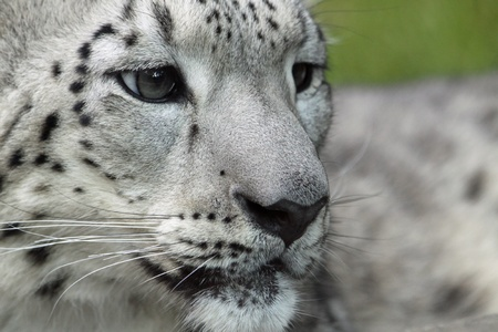 irbis: Close-up of a young Snow leopard  Stock Photo