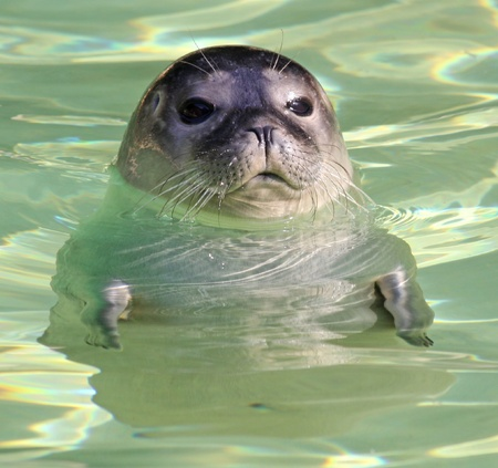 Portrait of a young harbor seal  photo