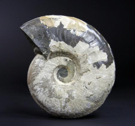 Ammonite Eleganticeras sp. photo