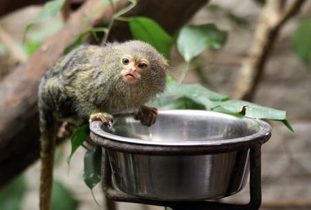 peru amazon: Pygmy Marmoset