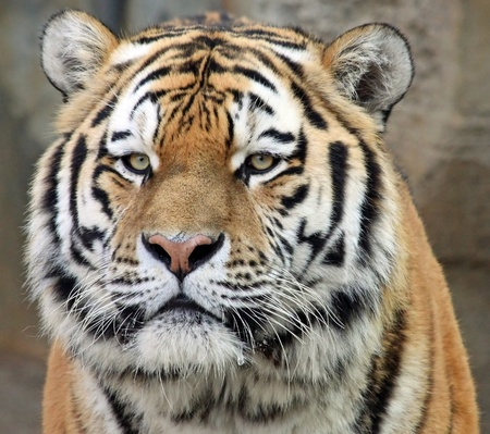 Portrait of a Siberian tiger photo