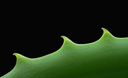 Alternativ: Close-up view of an Aloe vera leaf, isolated on black background with copy space