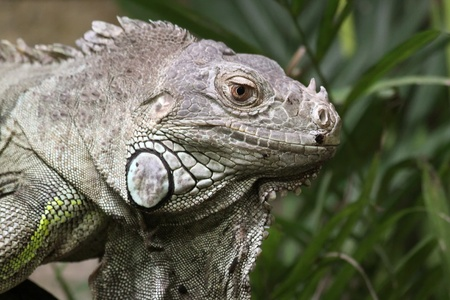 echse: Close-up of a Green Iguana Stock Photo