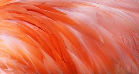 greater: Feathers of a Greater Flamingo as background 01 Stock Photo