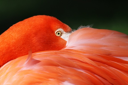 greater: Close-up view of a Greater Flamingo