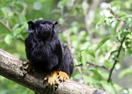 red handed: Red-handed monkey Tamarin Stock Photo