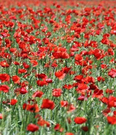 poppies field 02 photo