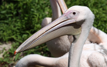 rote: Close-up view of a Great White Pelican 02  Stock Photo