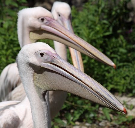 rote: Close-up view of a Great White Pelican