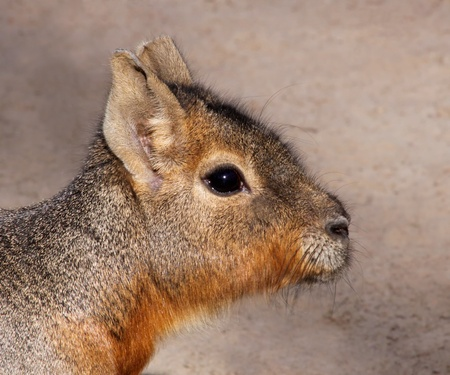 hobble: Portrait view of  a young Mara Stock Photo