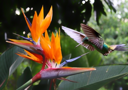 rica: Flying Hummingbird at a Strelitzia flower