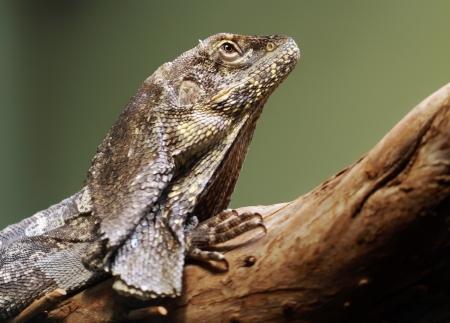 frilled: Close-up view of a Frill-necked lizard  Chlamydosaurus kingii