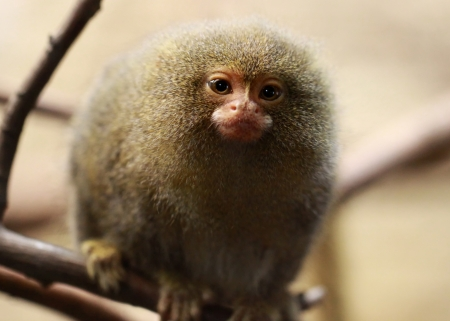 Close-up view of a Pygmy Marmoset  Callithrix pygmaea  Stock Photo