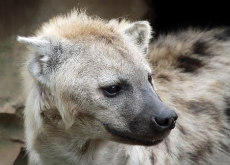 carnivora: Close-up view of a spotted hyena  Crocuta crocuta
