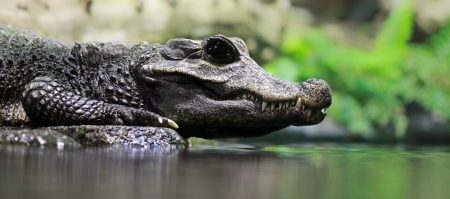 Close-up of a Dwarf crocodile   Osteolaemus tetraspis