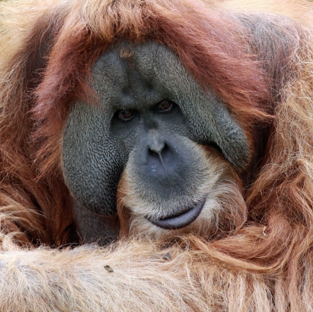 close view of an old male Orangutan