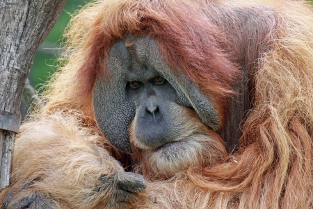 anthropoid: close view of an old male Orangutan 02
