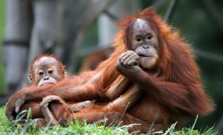 sumatra: Orangutan - Mother and child Stock Photo