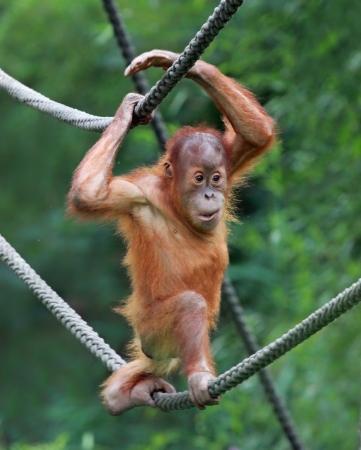 anthropoid: young male Orangutan