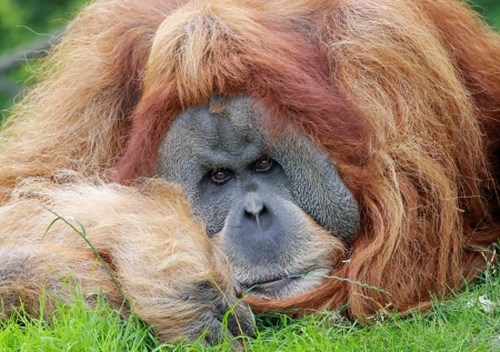 anthropoid: close view of an old male Orangutan 03