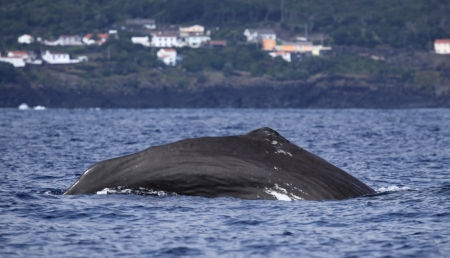 Whale watching Azores islands photo