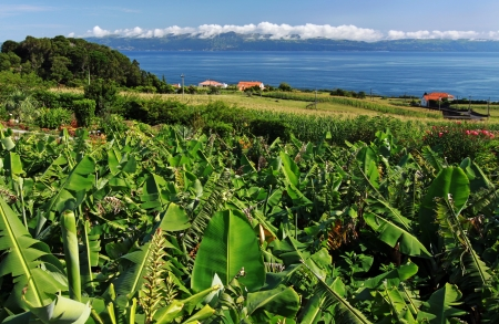 Banana plantation near the north coast of Pico Island  Azores Islands