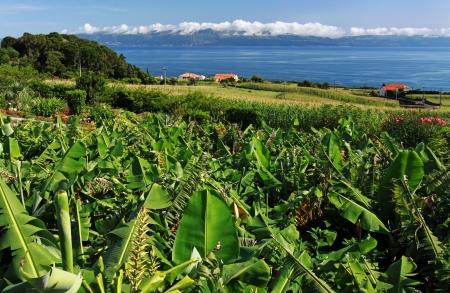 agriculture azores: Banana plantation near the north coast of Pico Island  Azores Islands
