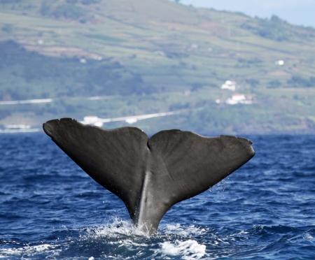 espermatozoides: Cachalote se inicia una inmersión profunda - isla de Pico, Azores