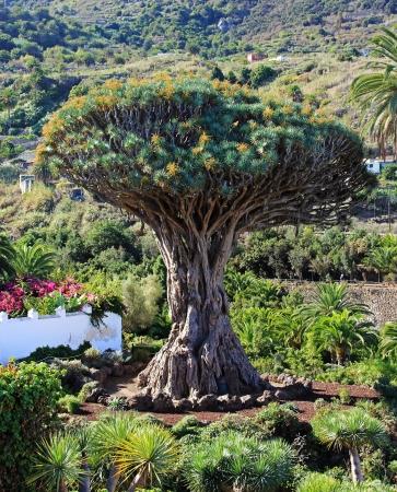 dragon vertical: Famous Dragon Tree Drago Milenario in Icod de los Vinos  Tenerife, Canary Islands
