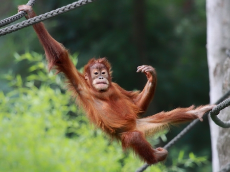 attraktion: Young male Orangutan is relaxing Stock Photo