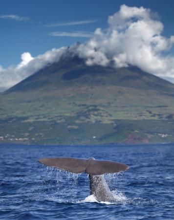 whale in front of volcano Pico, Azores islands  Standard-Bild