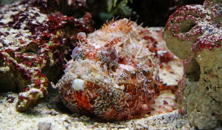 dangerous reef: Close-up view of a Stonefish 02
