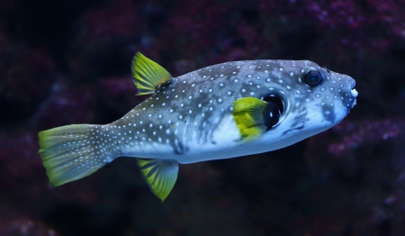 blowfish: Close-up view of a White-spotted puffer  Arothron hispidus