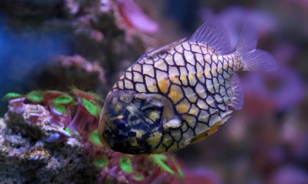 Close-up view of a pinecone fish  Monocentris japonica Stock Photo - 25279909
