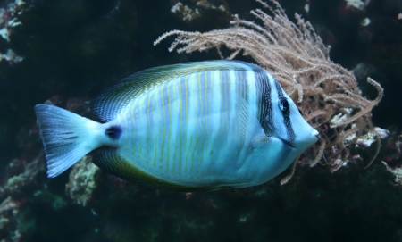 Close-up view of a Sailfin tang  Zebrasoma veliferum  photo