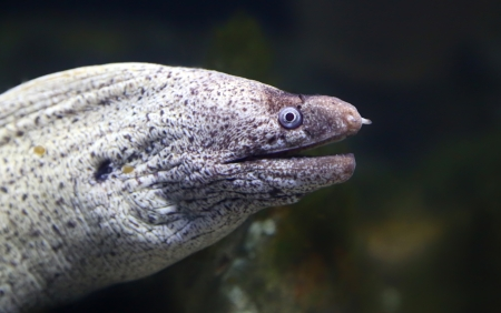 Close-up view of a Mediterranean moray  Muraena helena