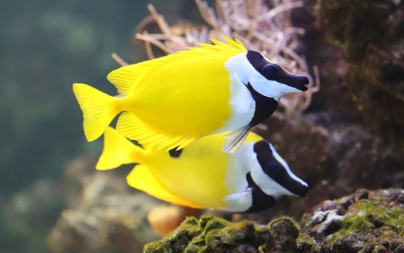 Close-up view of a Foxface rabbitfish  Siganus vulpinus
