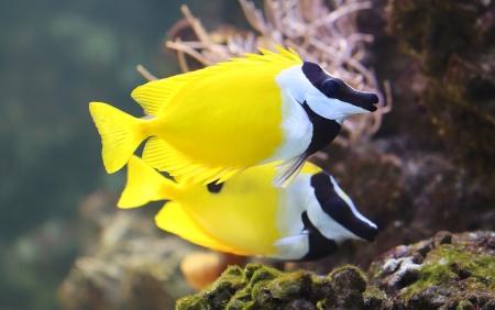 Close-up view of a Foxface rabbitfish  Siganus vulpinus  Stock Photo - 25279913