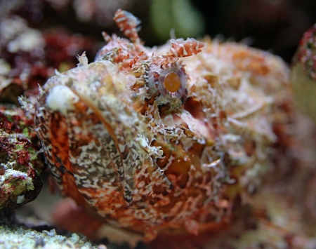stonefish: Close-up view of a Stonefish - Synanceia verrucosa