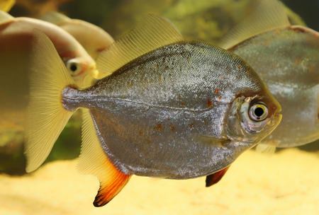 pacu: Close-up view of a Red Hook Silver Dollar  Myleus r  rubripinnis  Stock Photo