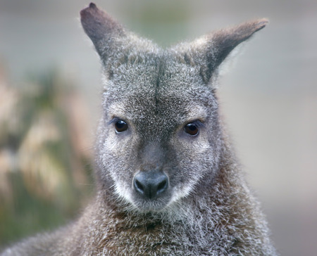 wallaby: Portrait view of a Red-necked wallaby, Macropus rufogriseus Stock Photo