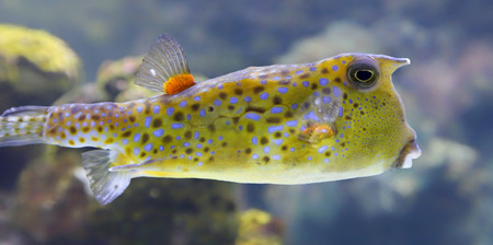 boxfish: Close-up view of a Longhorn cowfish - Lactoria cornuta