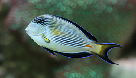 Close-up view of a Sohal surgeonfish - Acanthurus sohal  photo