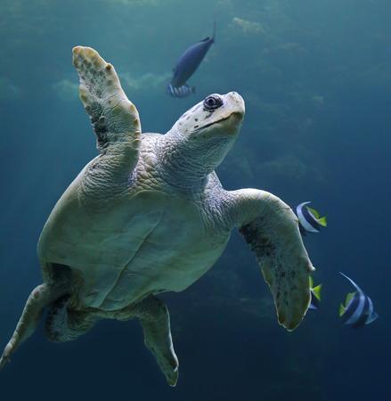 large turtle: Close-up view of a Loggerhead sea turtle - Caretta caretta