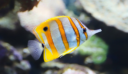 Close-up view of a Butterflyfish, Copperband butterflyfish - Chelmon rostratus photo
