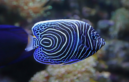 pomacanthus imperator: Close-up view of a Juvenile Emperor angelfish - Pomacanthus imperator Stock Photo