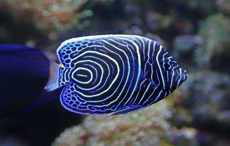 pomacanthus imperator: Close-up vista di un pesce angelo imperatore Juvenile - Pomacanthus imperator